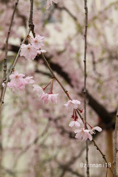 04 11_1821枝垂れ桜.jpg
