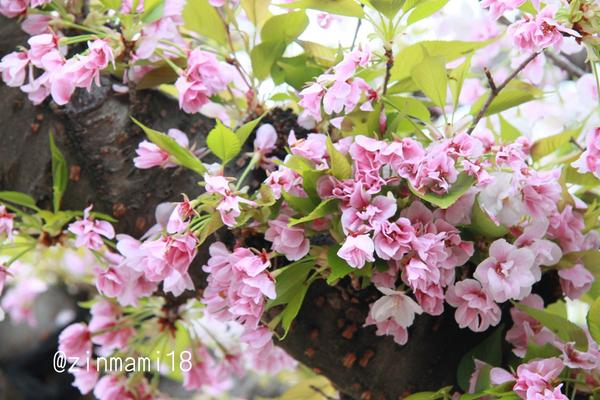 04 11_笹部桜.jpg